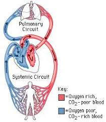 Image result for oxygenated blood and deoxygenated blood