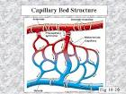 Images & Illustrations of capillary bed