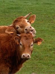 """Résultat de recherche d'images pour """"vaches limousines"""""""
