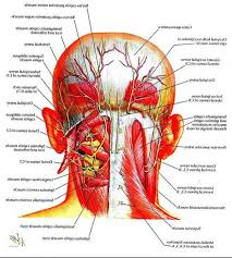 head and neck muscle anatomy   anatomy human body    head and neck muscle anatomy nerves in back of head and neck human anatomy diagram