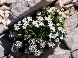 Androsace mathildae Levier | Parco Nazionale del Gran Sasso e ...