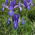 Spanish Irises - Pacific Bulb Society