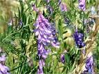Images & Illustrations of bird vetch