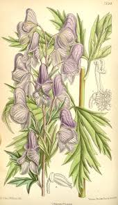 Aconitum fischeri