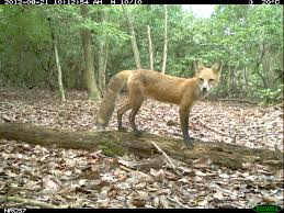 <b>Confusing</b> Canids: Differentiating <b>Red</b> Foxes, Grey Foxes, and ...