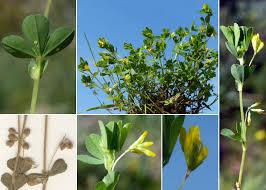 Trifolium micranthum Viv. - Portale della Flora di Roma