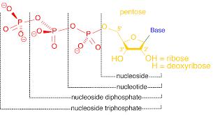 Nucleosídeo