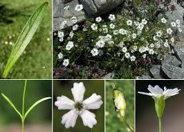 Heliosperma pusillum (Waldst. & Kit.) Rchb. subsp. pusillum ...