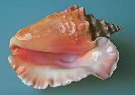 <b>Conch</b> - Wikipedia