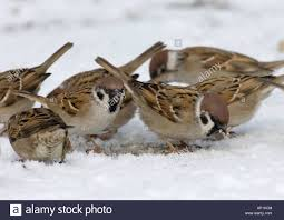 Sparrows in Snow
