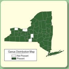 Hieracium - Genus Page - NYFA: New York Flora Atlas - NYFA: New ...