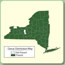 Prunus - Genus Page - NYFA: New York Flora Atlas - NYFA: New ...