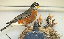 Free Robin  Phoebe Bird House Plans   Nesting ShelfFree Robin and Phoebe Bird House Plans for Nest Shelf or Platform