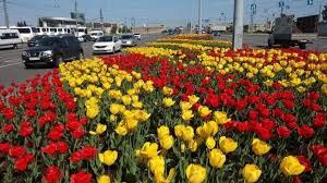 Ко Дню города в Петербурге расцветут 300 тысяч тюльпанов