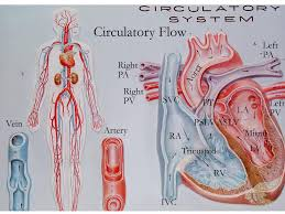 physiology the circulatory system part poster of circulatory system