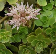 Sedum spurium Caucasian Stonecrop PFAF Plant Database
