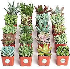 Shop Succulents   Unique Collection of Live Plants ... - Amazon.com