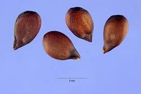 Plants Profile for Pyrus communis (common pear)