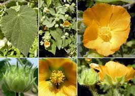 Abutilon theophrasti Medik. - Sistema informativo sulla flora ...