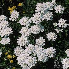 Plant Profile for Iberis sempervirens - Evergreen Candytuft Perennial