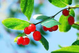 Что такое <b>волчьи ягоды</b>?