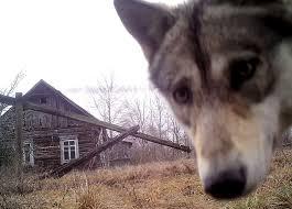 chernobyl wilderness regained wildlife flourishes in chernobyl chernobyl wilderness regained wildlife flourishes in chernobyl pictures cbs news