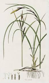 Carex gracilis from Curtis Flora Londinensis Grass Prints