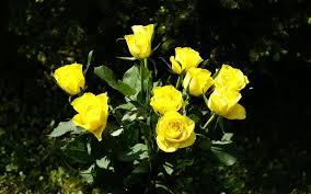 """Képtalálat a következőre: """"gyászversek rózsával kép"""""""