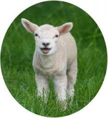 Image result for 4H lamb
