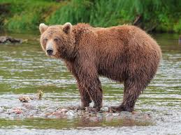 <b>Brown bear</b> - Wikipedia
