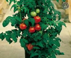 Αποτέλεσμα εικόνας για ντοματες φυτο