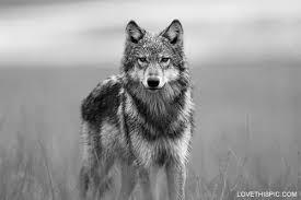 Resultado de imagen de lobo solitario