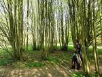 Images & Illustrations of coppice