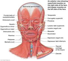 tag  muscle diagram of the head and neck   human anatomy diagrammuscle of the head diagram head face and neck muscles diagram   humananatomybody