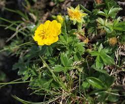 Dwarf Yellow Cinquefoil (Potentilla aurea) · iNaturalist.org