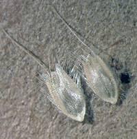 Alopecurus aequalis - SEINet Portal Network