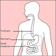 <b>Stomach</b> (Anatomy): <b>Definition</b>, Function, Structure | Biology Dictionary