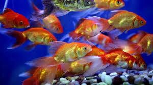 """Résultat de recherche d'images pour """"poissons rouges"""""""