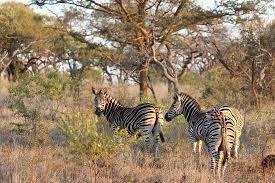 <b>Seen on</b> a <b>game</b> drive - Изображение Zebra Hills Safari Lodge ...