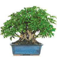 hawaiian umbrella indoor bonsai tree