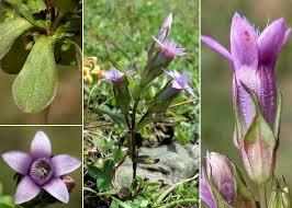 Gentianella anisodonta (Borbás) Á.Löve & D.Löve - Sistema ...