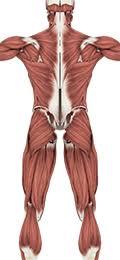 <b>Anatomy</b> & Physiology - Muscular System