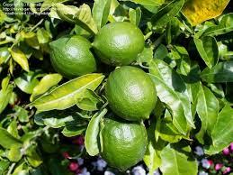 lemon tree x: plantfiles pictures meyer lemon tree meyers lemon tree valley lemon meyer citrus x meyeri  by rosinabloom