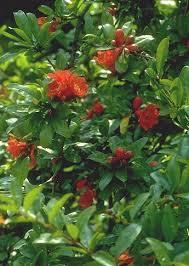 Punicaceae