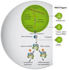Image result for RNAi/miRNA Pathway
