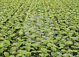 Resultado de imagen de pictures holland cucumber