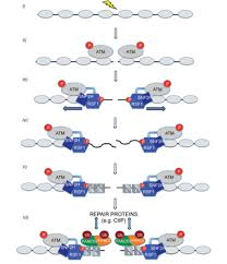 The RSF1 Histone-Remodelling Factor Facilitates <b>DNA Double</b> ...