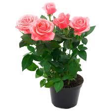 Растения открытого грунта купить недорого в ОБИ, цены на ...