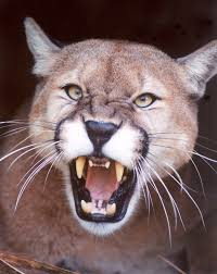 Image result for cougar pictures