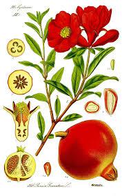 Punicaceae - Wikipedia